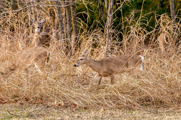 Deer at the edge of the woods.