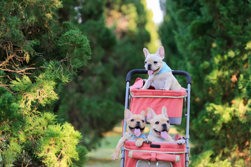 Three french bulldog puppies in pink pet stroller at a park.
