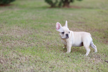 Portrait white french bulldog puppy Stand on grass and looking at the camera.