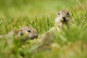 European Ground Squirrel, Spermophilus citellus, rodent in natural habitat, wild conditions, Slovakia