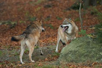 Gray Wolf, Canis lupus, Bavarian forest, autumn forest, predator