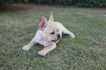 Portrait white french bulldog puppy lying down on grass and looking at the camera.