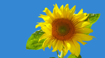 The sunflower on background of sky