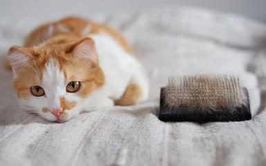 lying cute cat and a comb full of pet fur