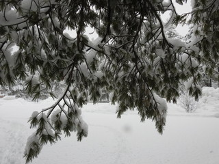 winter, trees, snow, tall pines, pine tree, ice, powder, beautiful, forest, landscape