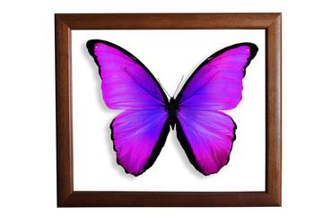 Бабочка с сине-фиолетовыми крыльями на белом фоне в рамке