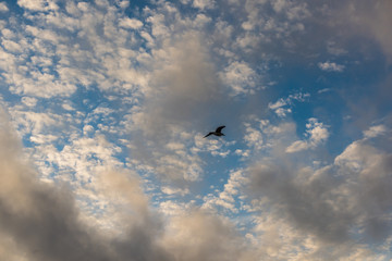 One seagull silhouette against cloudscape with many small clouds
