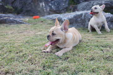 Portrait white french bulldog puppy Stand on grass