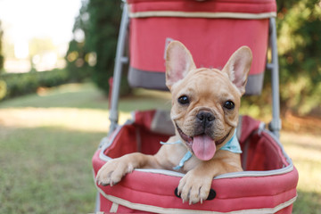 One french bulldog puppies in pink pet stroller at a park.