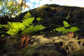 Fern on the rock, view up