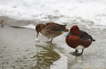 View of two brown ferruginous ducks on the bank of a frosted pond