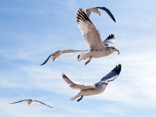 Flock of seagulls flying and eating food in the blue sky. Most successful bird out of this group gets a piece of food after stealing it from a tourist. Winner takes it all.