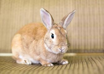 A reddish brown domestic pet rabbit