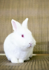 A small white albino Dwarf Rabbit with red eyes
