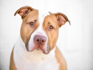 A red and white Pit Bull mixed breed dog with a sad expression
