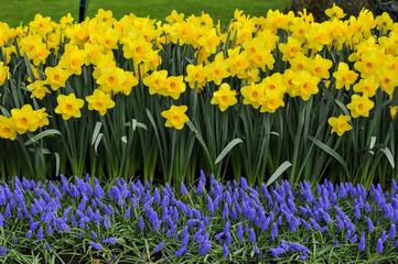 As cores do narciso variam entre o amarelo e o branco. Floresce no princípio da primavera tem normalmente seis pétalas com um funil central amarelo contendo os estames e o estigma.