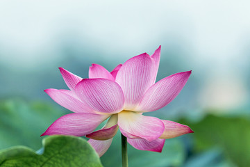 Garden Poster Lotus flower blooming pink lotus flower with green leaf