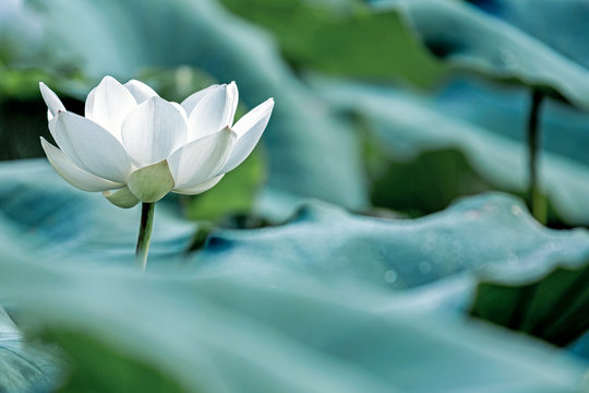 blooming white lotus flower with green leaf