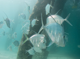 A school of Lookdown fish under a pier