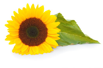 Beautiful snflower (Helianthus annuus, Asteraceae) isolated on white background, inclusive clipping path without shade. Germany