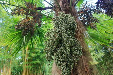 palm with clusters of green dates