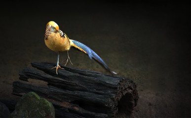 Yellow golden pheasant jumping on wood