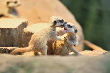 Close-up of meerkat or suricate (Suricata suricatta) youngsters in summer, Bavaria, Germany