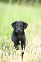 Mixed Black Labrador Retriever standing in a field in summer, Upper Palatinate, Bavaria, Germany