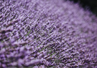 Detail of Lavender flowers in a garden. Norfolk, UK.