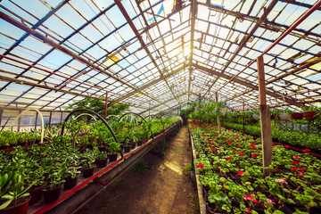 Red geranium pelargonium in greenhouse of botanical garden. Selective focus.