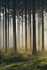 Spruce forest in early morning mist, Odenwald, Germany