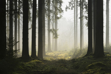 Spruce Forest in Early Morning Mist, Odenwald, Hesse, Germany
