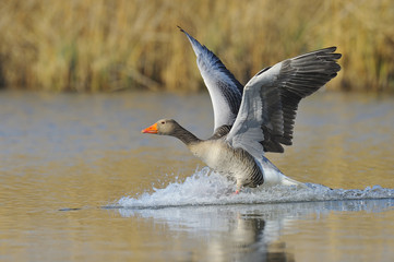 Greylag goose (Anser anser) landing on lake, Hesse, Germany, Europe