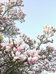 Magnolia Blossoms, North Rhine-Westphalia, Germany