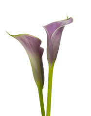 Pink calla lily flowers on white background, Studio Shot