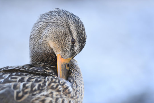 Close-up portrait of a mallard duck (Anas platyrhynchos) preening, Lake Grundlsee in winter, Styria, Austria