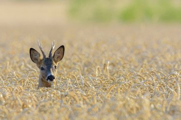 Western Roe Deer (Capreolus capreolus) in Field of Grain, Roebuck, Hesse, Germany, Europe