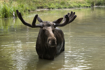 Portrait of Moose (Alces alces) in Water, Germany
