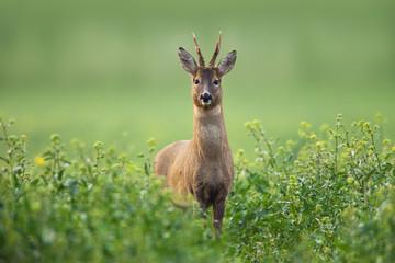 European Roe Deer (Capreolus capreolus) in Canola Field, Germany