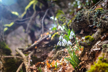 Spring forest with snowdrops