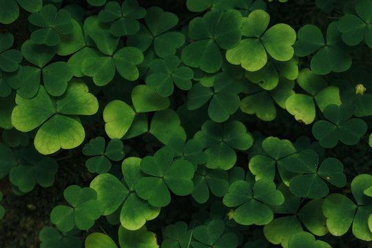 Clover plants background