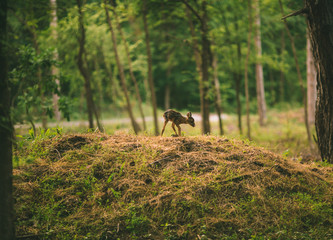 baby deer standing in the forest alone