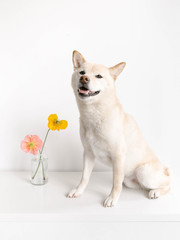 Shiba Inu dog with