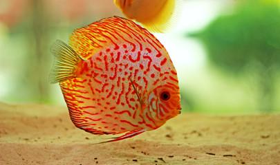 Discus fish in freshwater aquarium