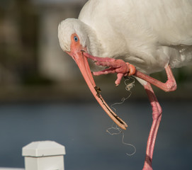 Injured Beautiful White Ibis