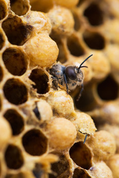 Bee eclosion
