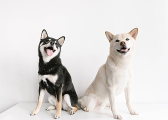 Shiba Inu dog friends sitting together