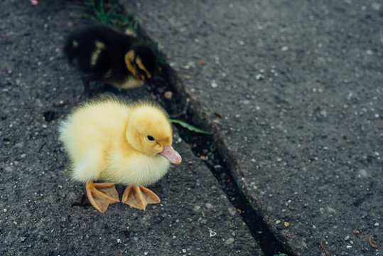 Two baby ducks on the sidewalk
