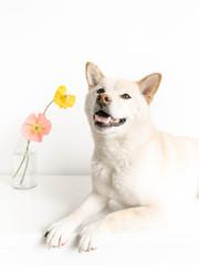 Shiba Inu dog with poppies