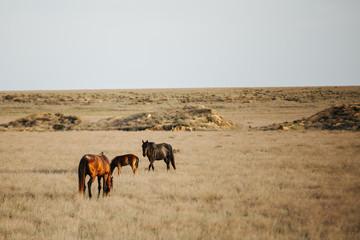 wild horses in kazakh steppe at sunset